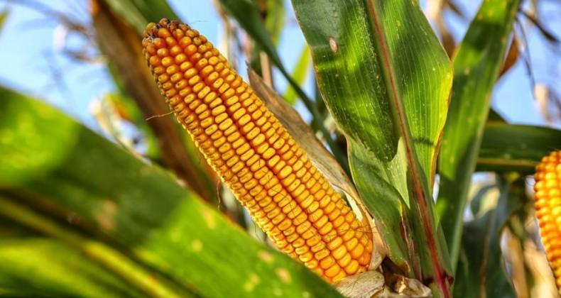 Queda de produtividade do milho faz agricultores reduzirem as vendas