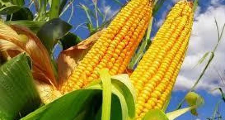 Milho: atraso na colheita deve dificultar entrada do grão no mercado; entenda